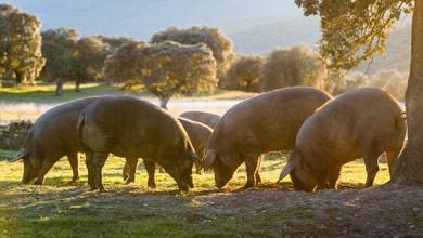 Le porc IBERIQUE